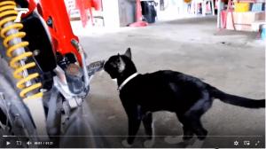 """จ้องตาเป็นมัน """"เลขเด็ด"""" เจ้าโทน แมวต้นตะเคียน นอนเล่นบนรถจักรยานยนต์"""